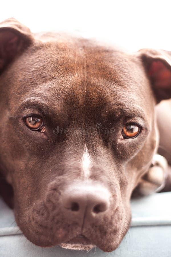 Pit Bull Eyes image stock