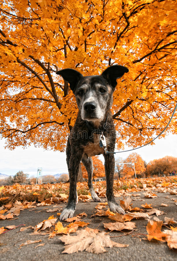 Pit Bull In Front Of A Tree Stock Photo