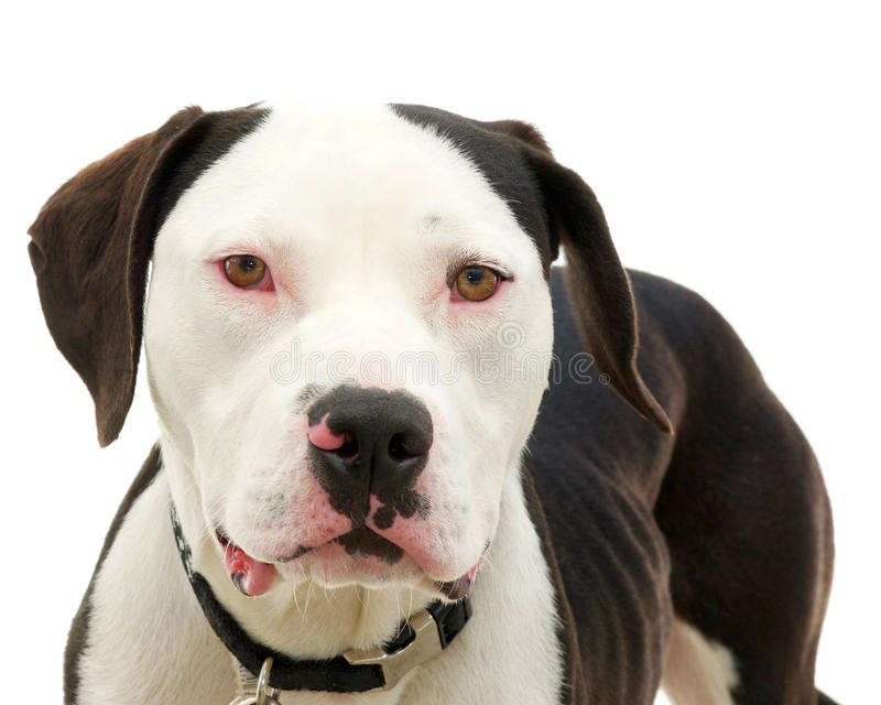Pit bull isolated on white royalty free stock photography