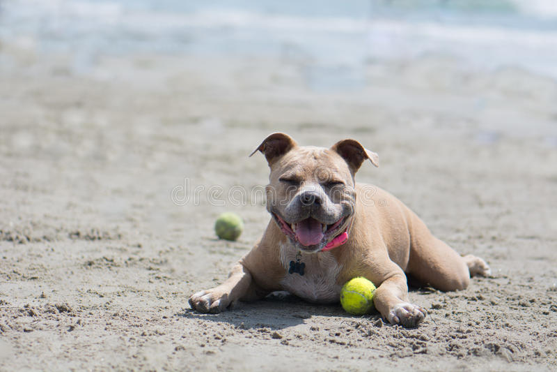 Pit Bull Lying Down med tennisbollen i sand San Diego Dog Beach Kalifornien royaltyfri bild