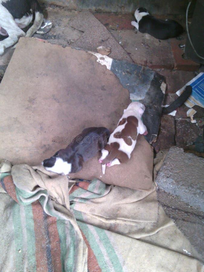 Pit Bull + puppiy royalty-vrije stock foto's