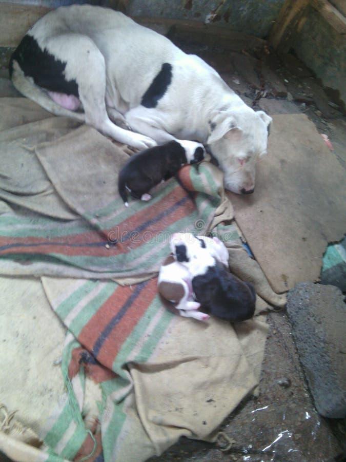 Pit Bull + puppiy stock afbeelding