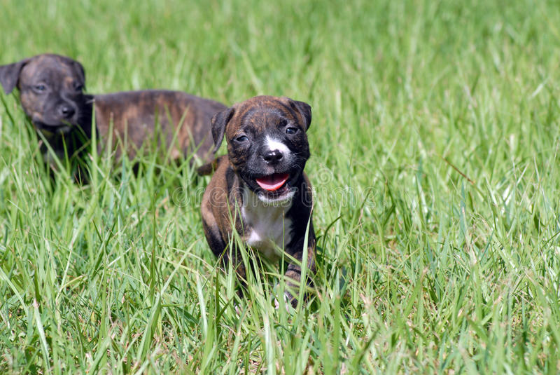 Pit Bull Puppy photographie stock