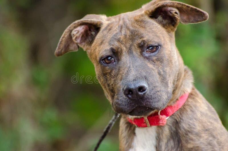 Pit Bull Puppy Adoption Photo immagini stock libere da diritti