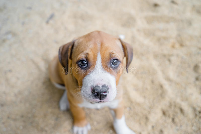 Pit bull puppy royalty free stock photos