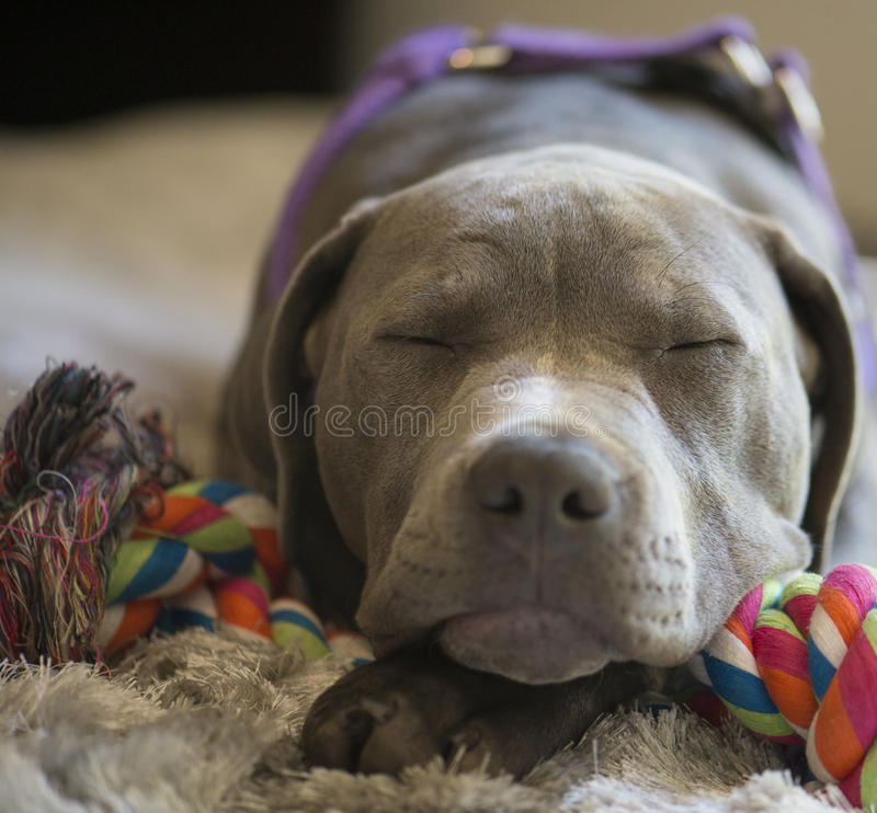 Red Bull Careers >> Sleeping Pit Bull Puppy stock photo. Image of pitbull ...