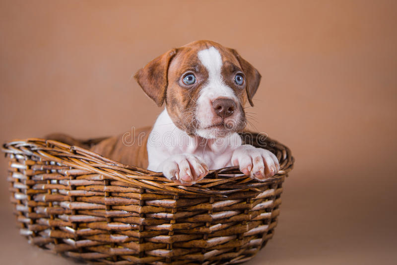 Pit bull puppy sweet. Pet American Pit Bull Terrier puppy cute royalty free stock photography