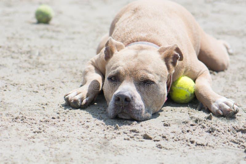 Pit Bull Resting med tennisbollen i sand San Diego Dog Beach Kalifornien royaltyfri foto