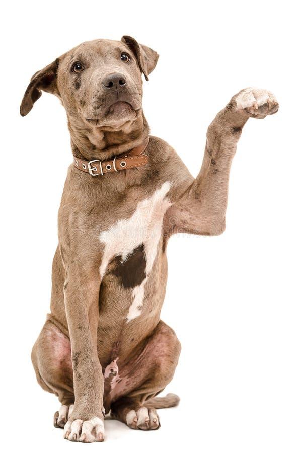 Pit bull szczeniaka obsiadanie z nastroszoną łapą fotografia royalty free