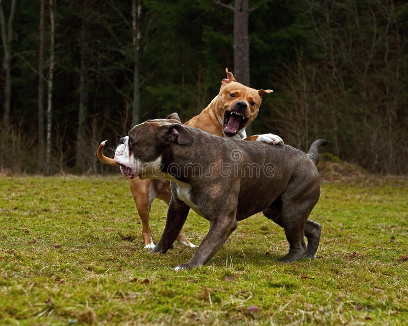 Pit bull sztuki bój z Olde angielszczyzn buldogiem zdjęcia royalty free