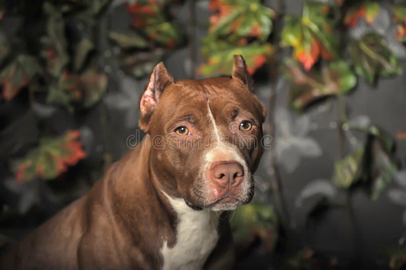 Pit Bull Terrier foto de archivo libre de regalías
