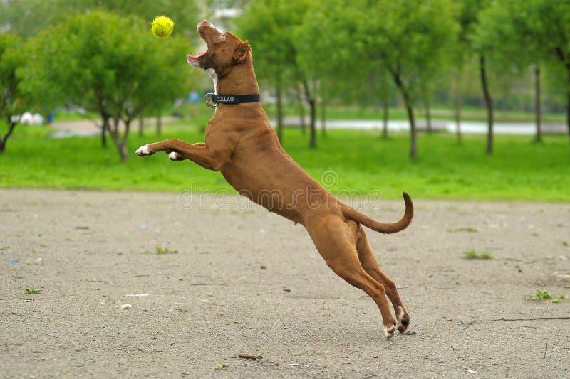 Pit Bull Terrier fotos de archivo