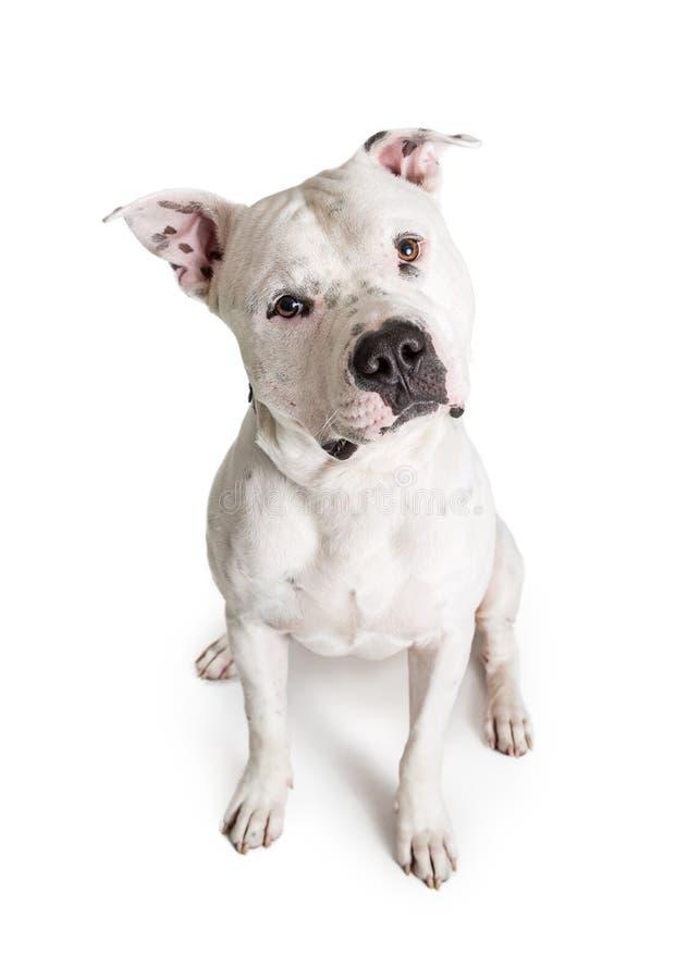 Pit Bull Terrier Dog Sitting branco que olha para a frente foto de stock
