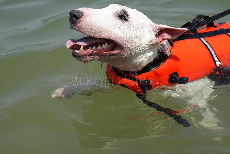 Pit bull terrier swimming. With red life vest royalty free stock image