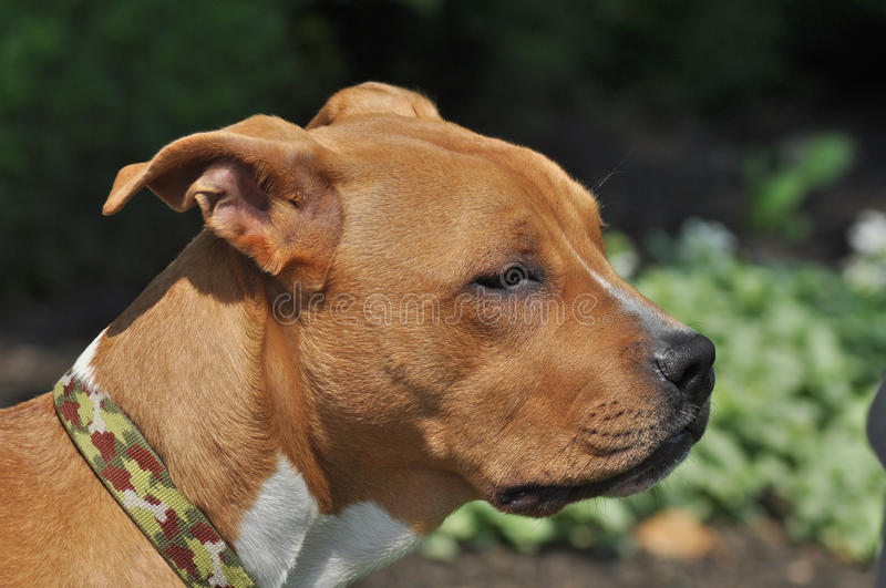 Pit Bull In Thought Royalty Free Stock Photography
