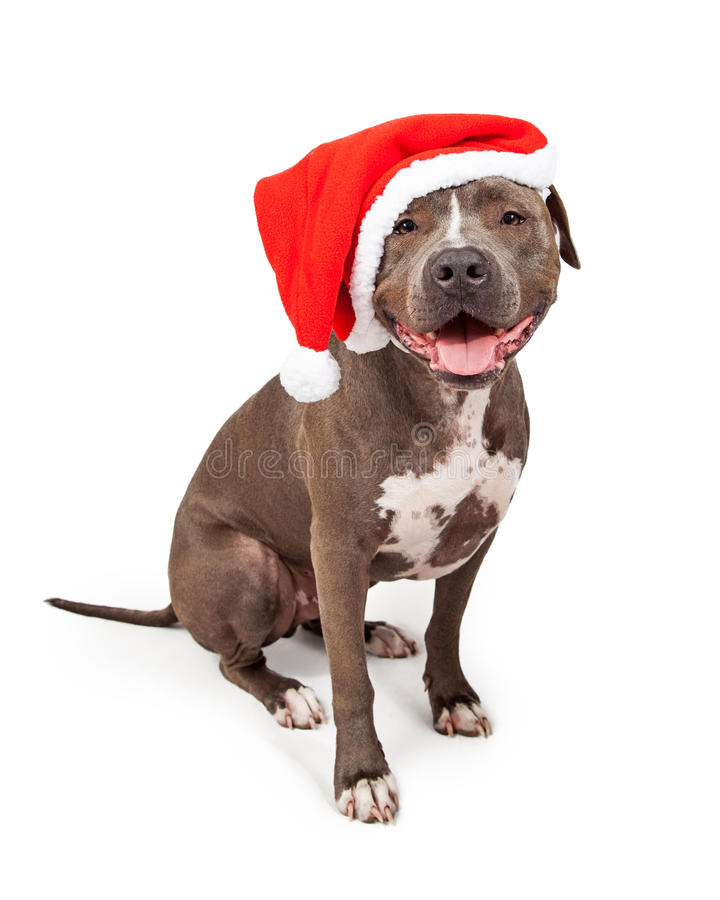Pit Bull Wearing Christmas Santa Hat stock images