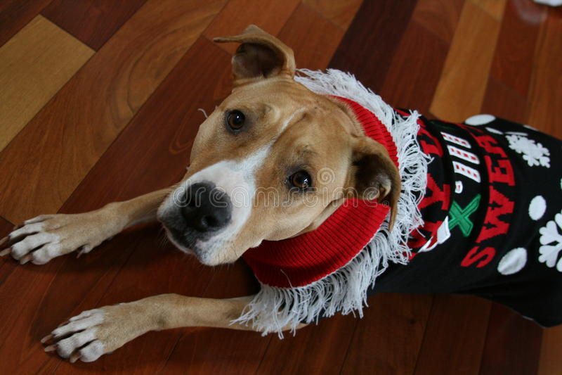 Pit Bull Wearing Ugly Christmas Sweater stock photography