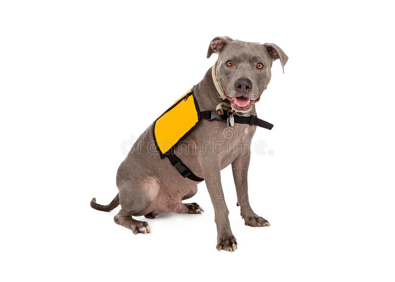Pit Bull Wearing Yellow Service Vest. A happy blue Pit Bull dog wearing a blank yellow vest for you to enter text onto royalty free stock photography