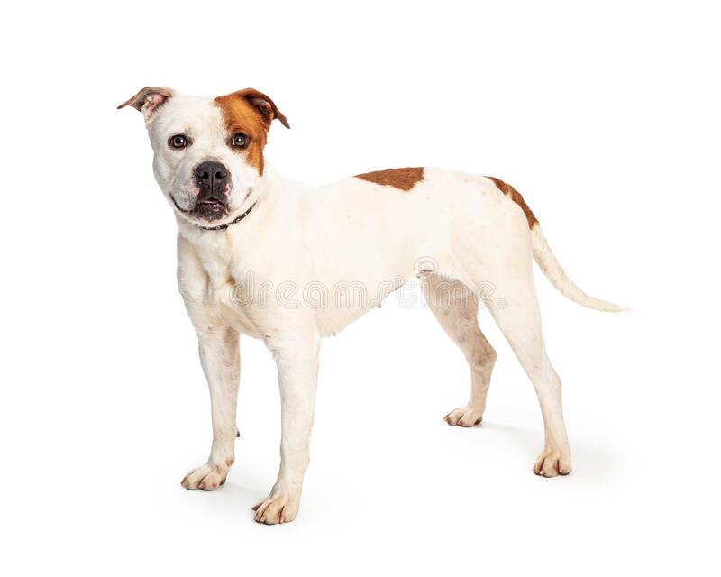 Pit Bull White Brown Spots Standing Side stock afbeelding