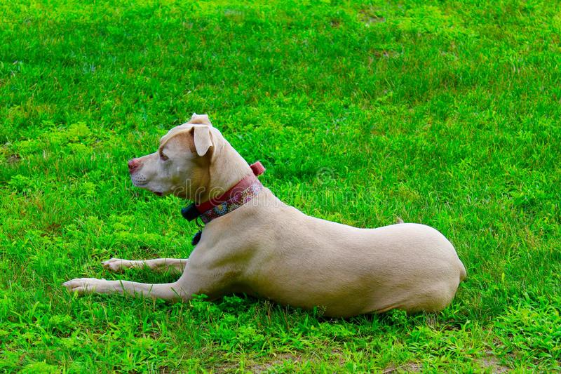Pit Pull. Fawn colored pit bull laying down on a green lawn stock image