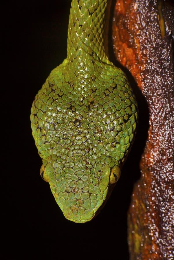 Pit Viper di bambù, gramineus di Trimeresurus, scale della testa di dorsale, Matheran, maharashtra immagini stock