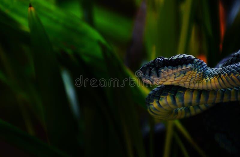 Pit Viper, giftige Schlange stockbild