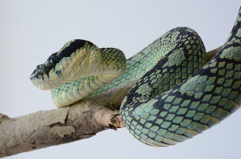 Pit Viper, giftige Schlange lizenzfreie stockbilder