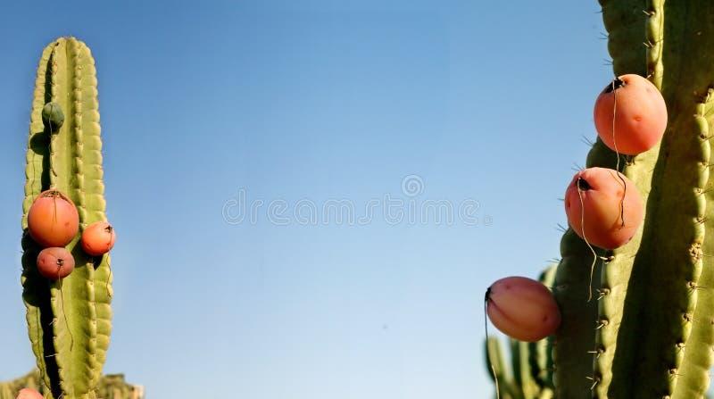 Pitahaya fruit. Cactus on a blue sky royalty free stock images