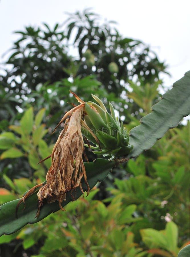 Pitahaya o fruta del dragón imagenes de archivo