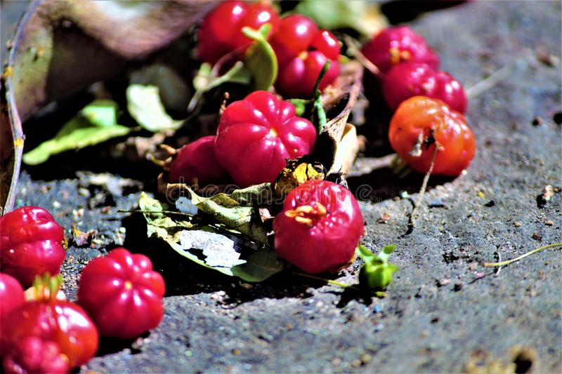 Pitanga. The pitanga is shaped like globules and fleshy, in the same tree, the fruit can have from the colors green, yellow and orange to the deep red color royalty free stock photography
