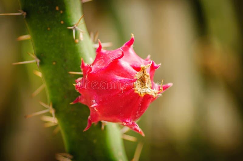 Pitaya, pitahaya仙人掌种类果子  免版税库存照片