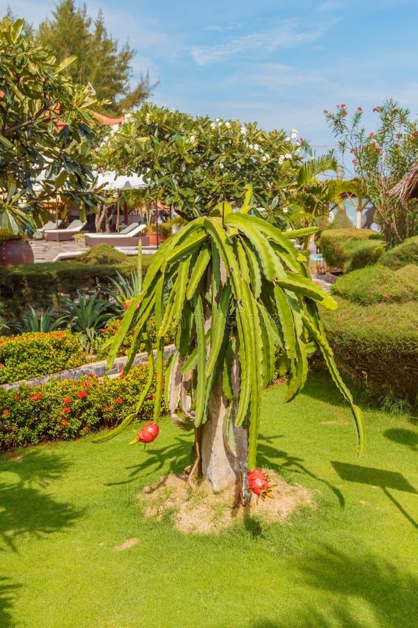 Pitaya Kaktus oder Dragon Fruit stockbilder