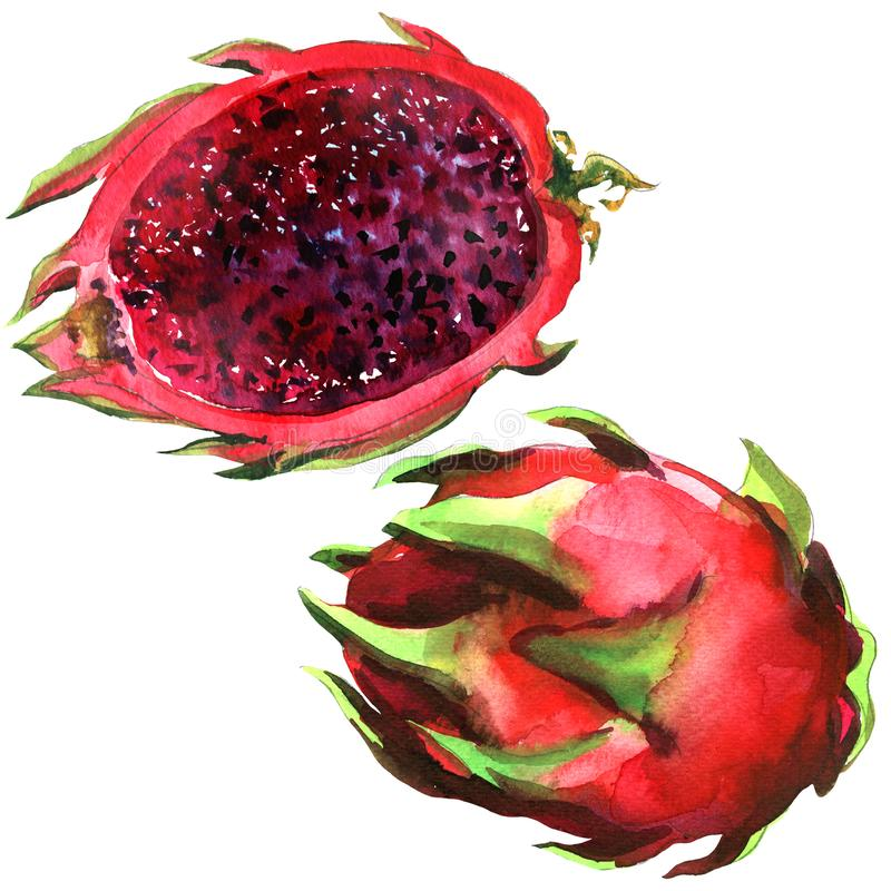 Pitaya, Red Dragon fruit, pitahaya, whole and half, tropical fruits isolated, hand drawn watercolor illustration on vector illustration