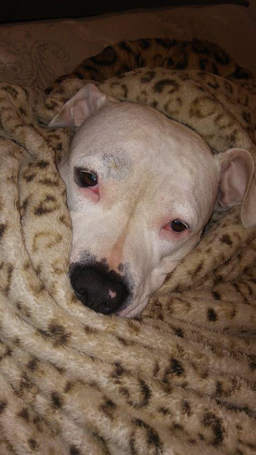Pitbull и ее одеяло стоковые фото