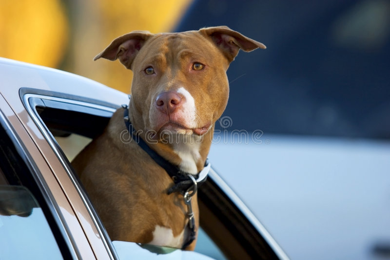 Pitbull_0001. Pit Bull dog with his head out of a car window royalty free stock photo