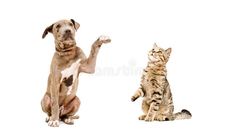 Pitbull allegro del cucciolo e seduta diritta scozzese del gatto insieme immagine stock
