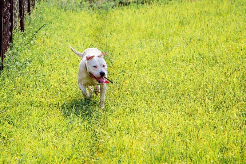 Pitbull blanco joven de la raza del perro que corre a través de hierba verde caminata foto de archivo