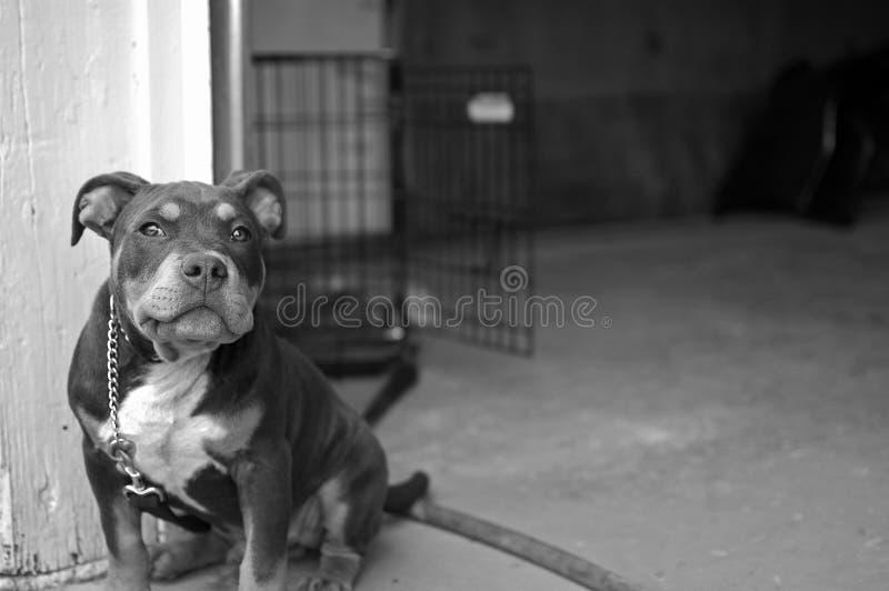 Pitbull blandningvalp royaltyfri fotografi