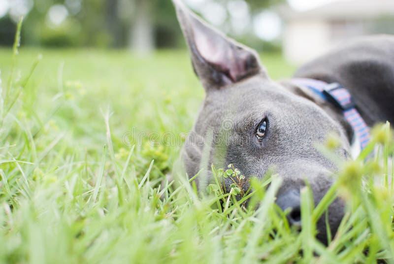 Pitbull blu del naso che risiede nell'erba immagini stock
