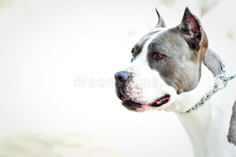 Pitbull blu grigio felice fotografie stock