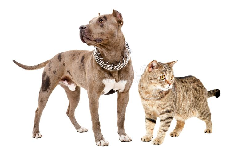 Pitbull and cat Scottish Straight standing together royalty free stock image