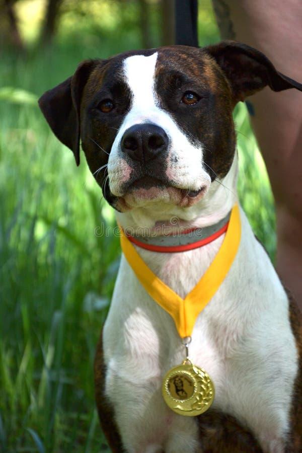 Pitbull del cane con una medaglia immagini stock libere da diritti
