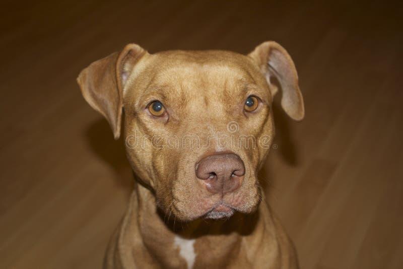 Pitbull dog face sideways stare. Pitbull dog facing camera, tan, ears perked royalty free stock photography
