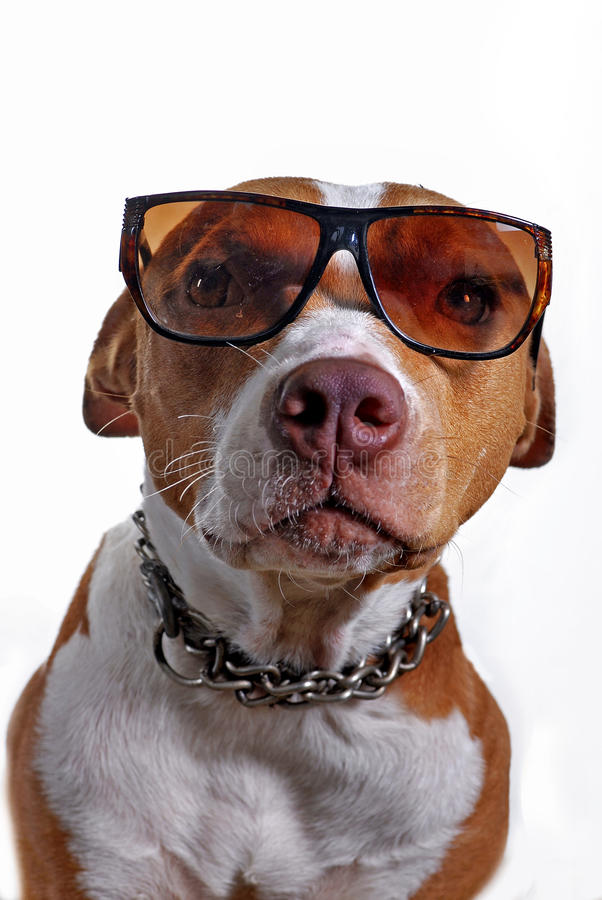 Pitbull Dog Wearing Glasses. Pitbull terrier dog wearing glasses shot in the studio royalty free stock photography