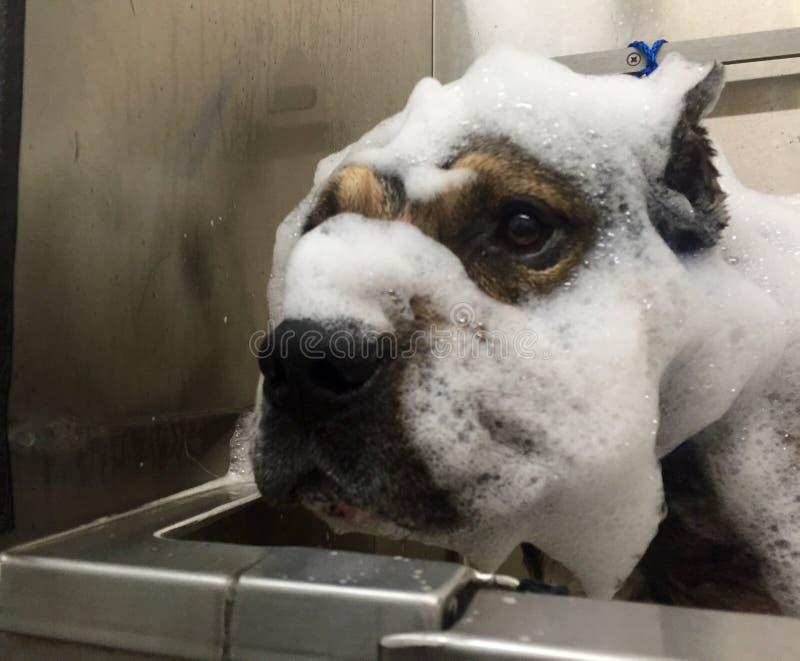Pitbull durante un baño imágenes de archivo libres de regalías
