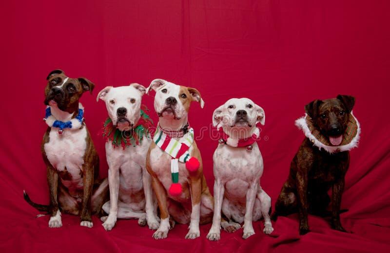 Pitbull Familie Weihnachtsportrait stockbilder