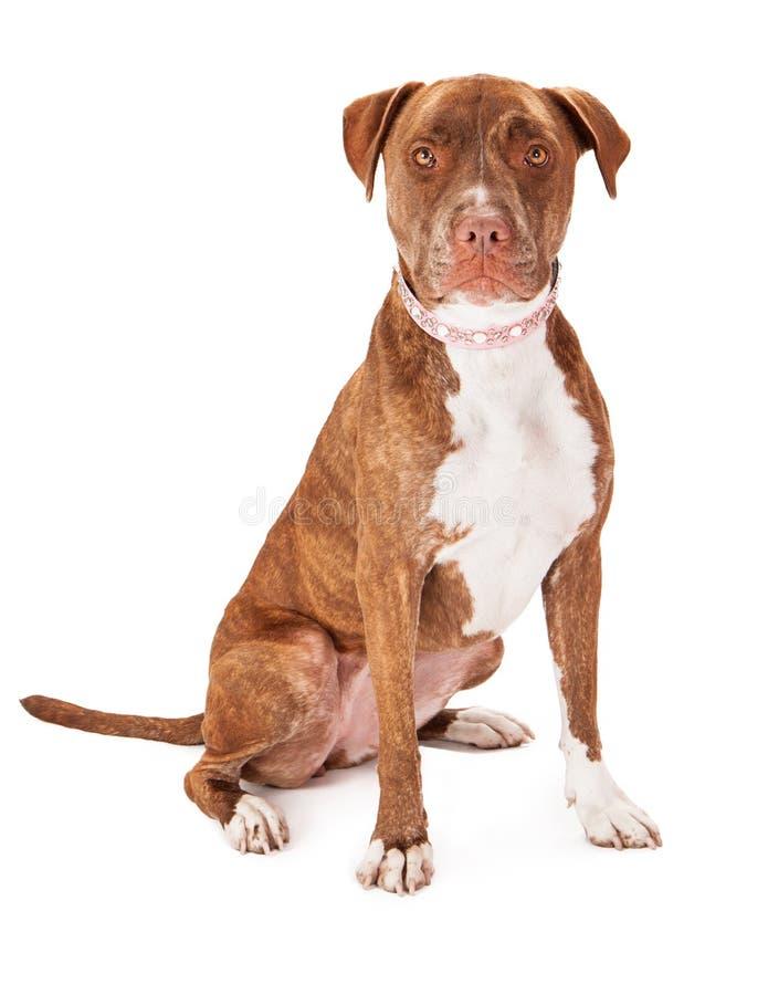 Pitbull-Hund, der rosa Kragen trägt stockfotografie