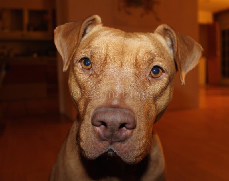 Pitbull inside house. Tan pitbull dog inside house looking at camera stock images