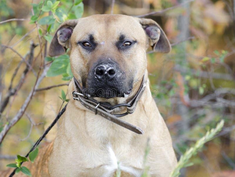 Pitbull med ärr för hundkamp på näsa royaltyfria bilder