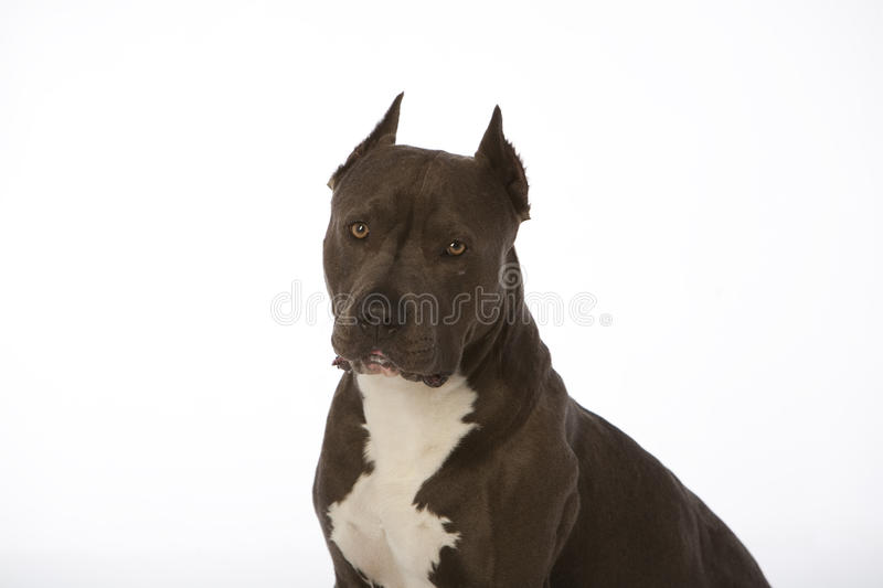 Pitbull no branco fotografia de stock royalty free